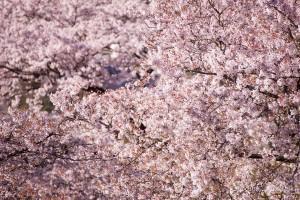 300mmで圧縮効果を狙った。奥の桜との立体感で満開の桜を表現