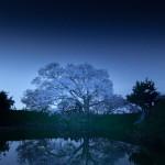 夜桜(浅井の一本桜)