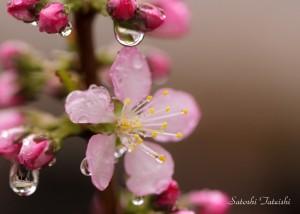 水滴がついた花