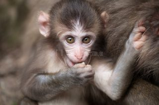 野生の猿の撮影に必要な3つの条件