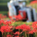 農機具と曼珠沙華