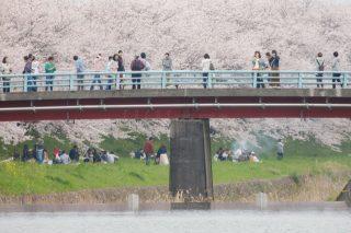 桜を求めて【流川の桜並木】