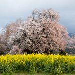 桜を求めて【一心行の大桜】